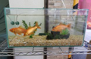 ウィルハウス 店内金魚